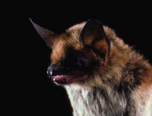 Fringe Tailed Bat