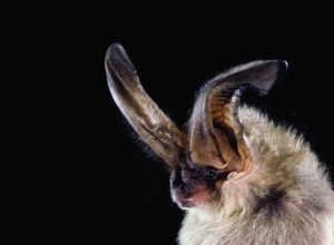 Townsend's Long-Eared Bat