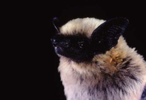 Canyon Bat
